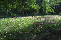 Fält av den mycket lilla blomman i INGET morgonljus 2 royaltyfri fotografi