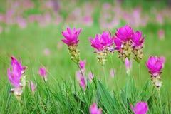 Fält av den rosa Siam tulpan Royaltyfria Bilder