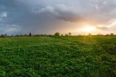 Fält av den unga alfalfan med andra växter på solnedgången arkivfoton
