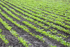 Fält av den växande sockerbetan Arkivbild