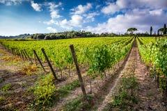 Fält av druvor i sommaren, Tuscany Arkivfoto