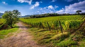 Fält av druvor i Tuscany royaltyfria foton