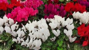 Fält av färgrika cyklamenpersicumblommor Fotografering för Bildbyråer