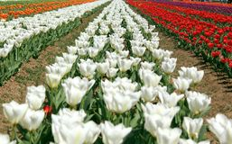 Fält av färgrika tulpan i Jammu and Kashmir royaltyfri bild