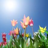 Fält av färgrika tulpan på en solig dag Fotografering för Bildbyråer