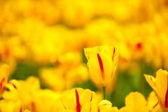 Fält av färgrika tulpan: rich gulnar fidelio tulpan som är härliga Arkivfoton