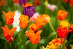 Fält av färgrika tulpan: rich gulnar fidelio tulpan som är härliga Royaltyfri Fotografi