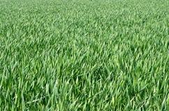 Fält av gräs Royaltyfria Bilder