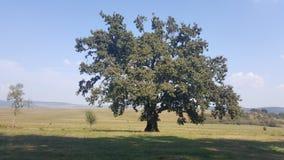 Fält av gräs och trädet på kullen Fotografering för Bildbyråer