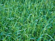 Fält av gräs som gör en grön textur Fotografering för Bildbyråer