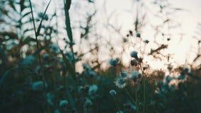 Fält av gräs under solnedgång stock video