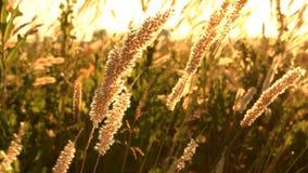 Fält av gräs under solnedgången som svänger i vinden lager videofilmer