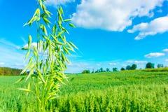 Fält av grön havre Royaltyfri Fotografi