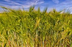 Fält av grön havre, Hordeum arkivbild
