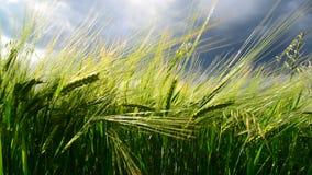 Fält av grön råg för åskväder Ryssland stock video