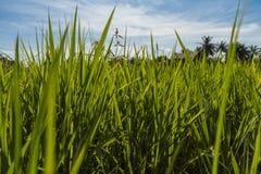 Fält av gröna ris i en solig dag royaltyfri foto
