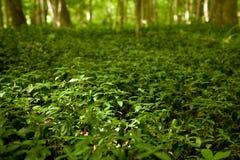 Fält av gröna växter av släktet Trifolium och vegetation arkivbild