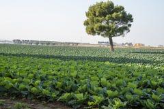 Fält av grönsallat Royaltyfria Bilder