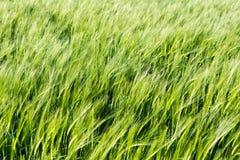 Fält av grönt korn för barn i vinden för solnedgången, abstrakt begrepp Fotografering för Bildbyråer