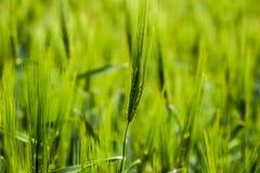 fält av grönt omoget korn Spikelets av korn Fältet är korn, lantligt landskap arkivfoto
