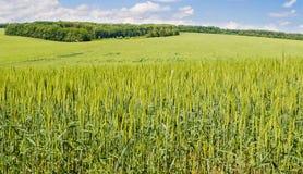 Fält av grönt vete Fotografering för Bildbyråer
