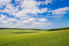Fält av grönt vete Arkivbild