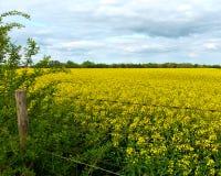 Fält av gul canola med försett med en hulling - trådstaket och molnig himmel Royaltyfri Bild