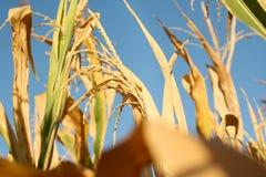 Fält av gul havre Royaltyfria Foton