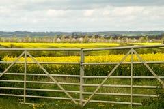 Fält av gul rapsolja och porten Royaltyfri Foto