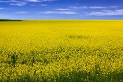 Fält av gula blommor Royaltyfria Bilder