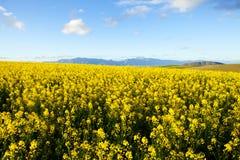 Fält av gula canolablommor Fotografering för Bildbyråer