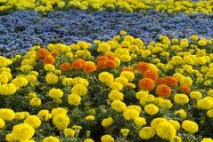 Fält av gula och orange ringblommor Arkivfoton