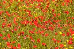 Fält av gula och röda vallmoblommor Arkivbild