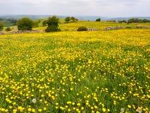 Fält av gula smörblommor Arkivfoto