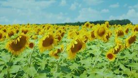 Fält av gula solrosor mot den blåa himlen med härliga moln stock video