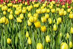 Fält av gula tulpan med vita strimmor Arkivfoton