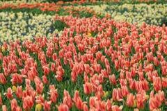 Fält av gula tulpan och orange tulpan med gula kanter Royaltyfri Bild