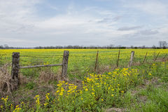 Fält av gula vildblommor i Louisiana arkivbilder