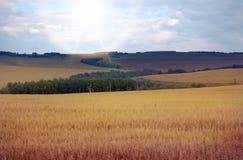 Fält av guld Arkivfoto