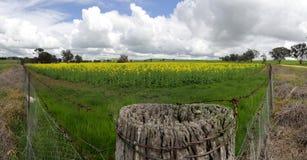 Fält av guld- Canola Arkivfoto