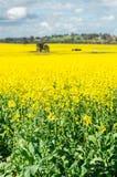 Fält av guld- canola kantjusterar nord av Benalla, Victoria royaltyfria bilder