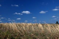Fält av guld och himmel av blått Arkivbild