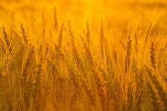 Fält av guld på solnedgång Arkivfoton