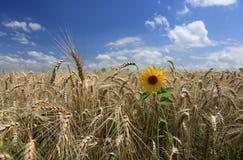 Fält av guld- vete med den ensamma solrosen Royaltyfri Fotografi