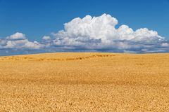 Fält av guld- vete mot himmel Arkivbilder