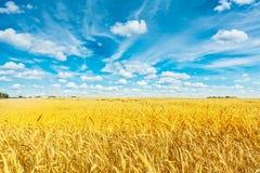 Fält av guld- vete och molnig himmel Royaltyfria Bilder