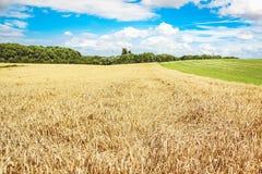 Fält av guld- vete under den blåa himlen Arkivbild