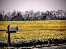 Fält av guling royaltyfria foton