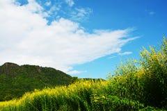 Fält av guling Royaltyfria Bilder