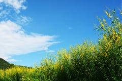 Fält av guling Arkivfoton